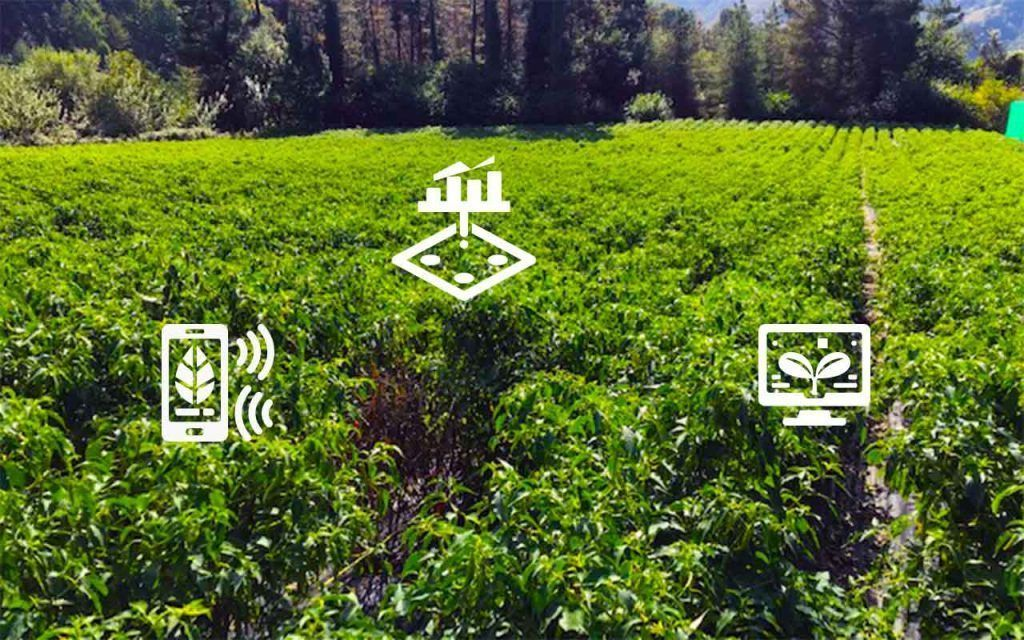 Sensores de riego en el cultivo de la guindilla
